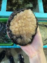 澳洲大大大鮑魚