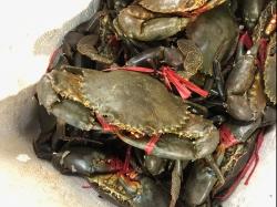 菲律賓肉蟹